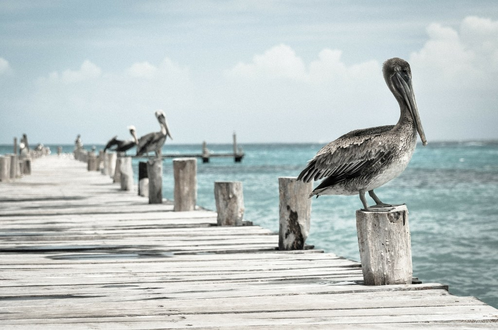 big birds sitting on boardwalk on water