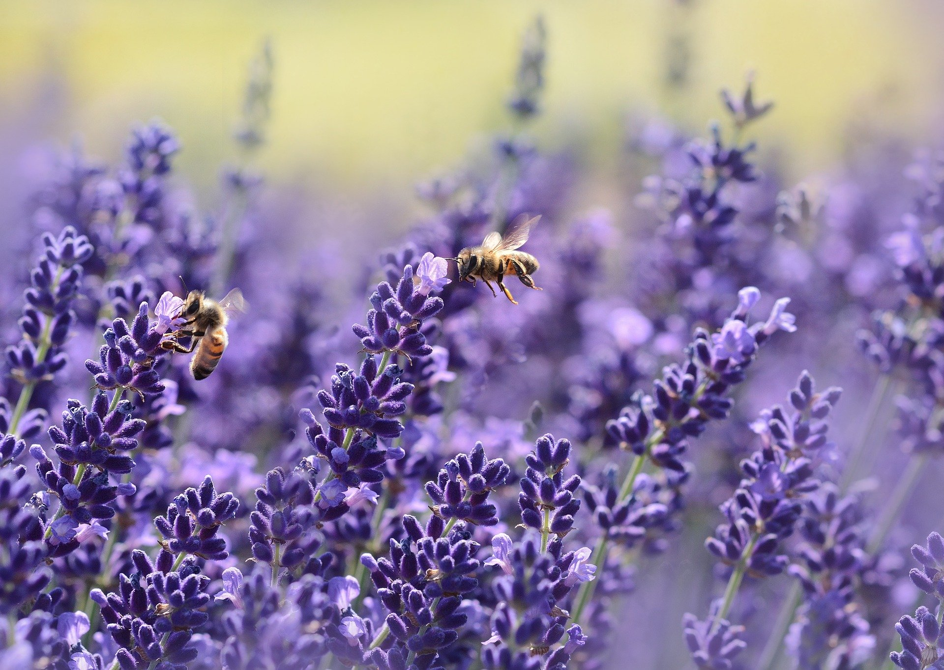 bees flying over lavender-preparing retirement budget