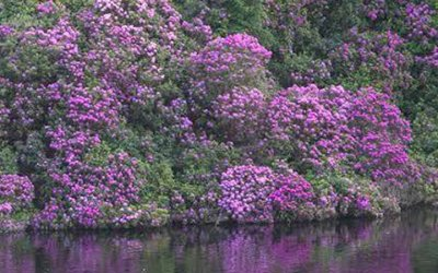 Rhododendron threat raised in Dáil