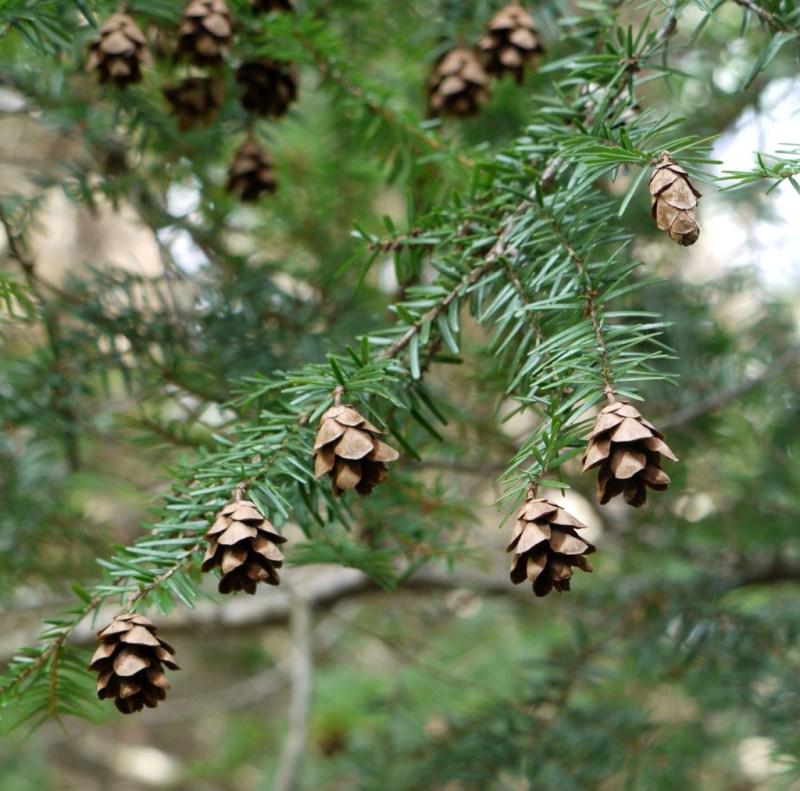 hemlock tree with cone