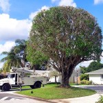 Ficus-Tree-Trimming-Pruning-Wellington-Savemore-Tree-Service_3