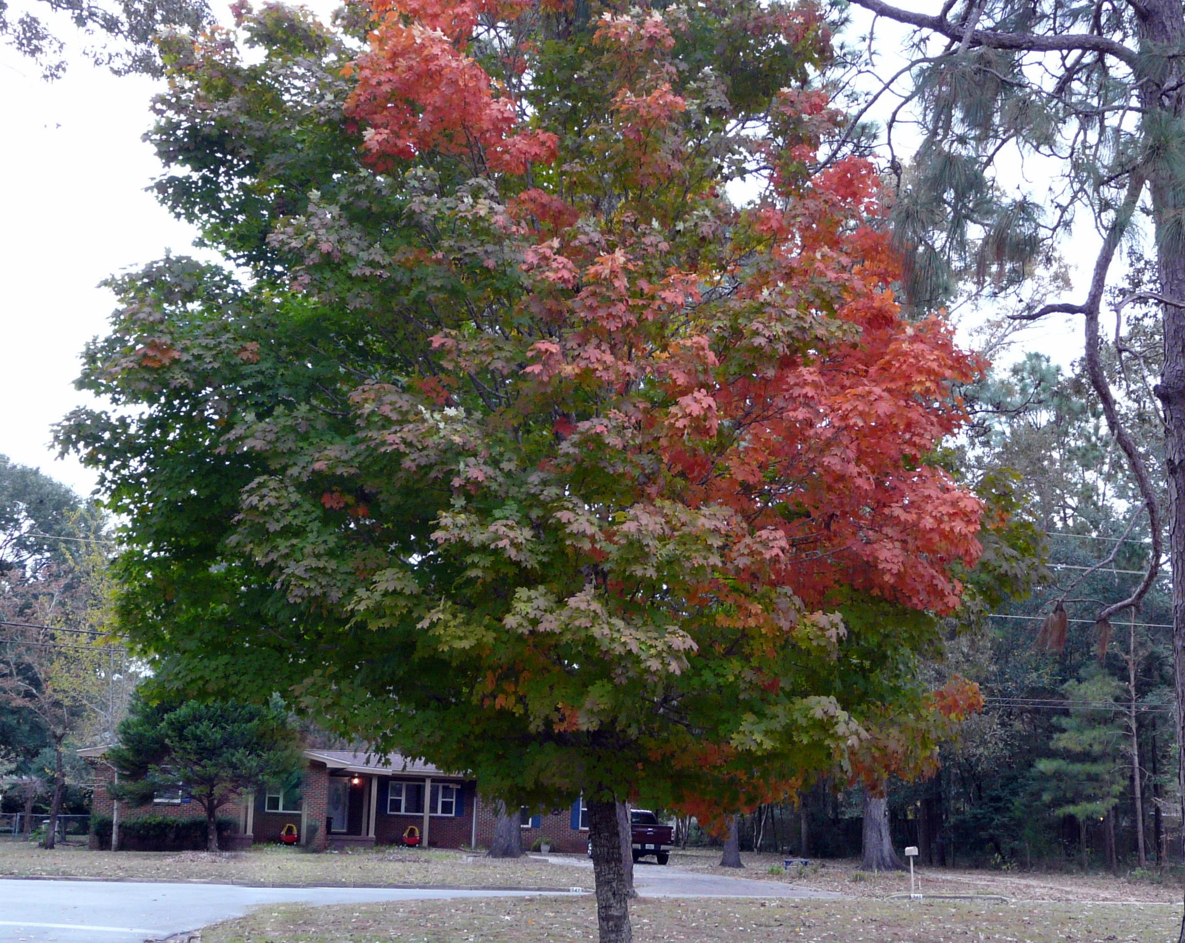 Florida-Maple-Fall-Color-2