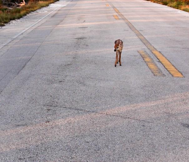 fawn walking on road