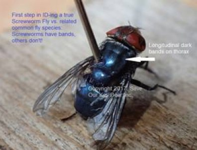 Screwworm Fly