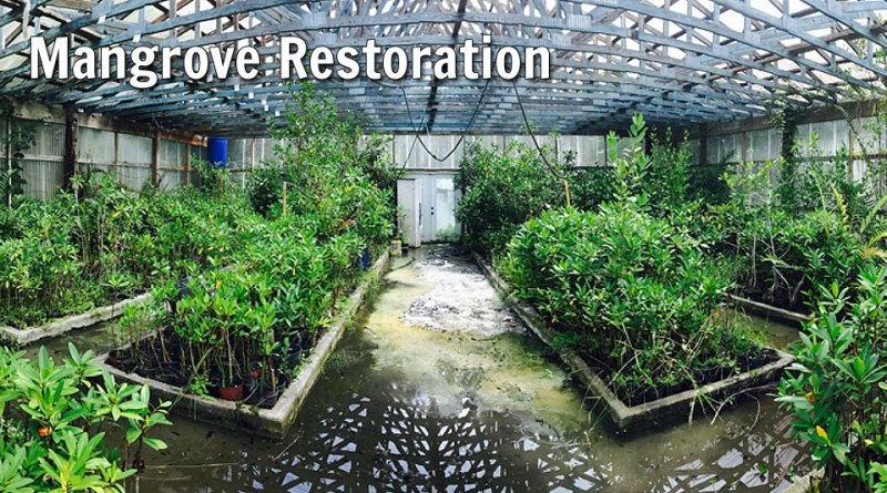 mangrove restoration: Marine Resources Council