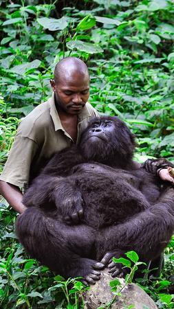 Caption Congo's Virunga National Park / Emily Scott Pottruck / Patrick, a caretaker at the Virunga gorilla orphanage, cradles Ndagazi, a female he has helped raise since the death of her mother when she was an infant.