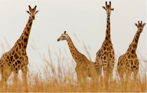 Murchison Falls National Park hosts one of the few remaining populations of the endangered Rothschild Giraffes already under threat from oil exploration in the park. © istockphoto/1001slide