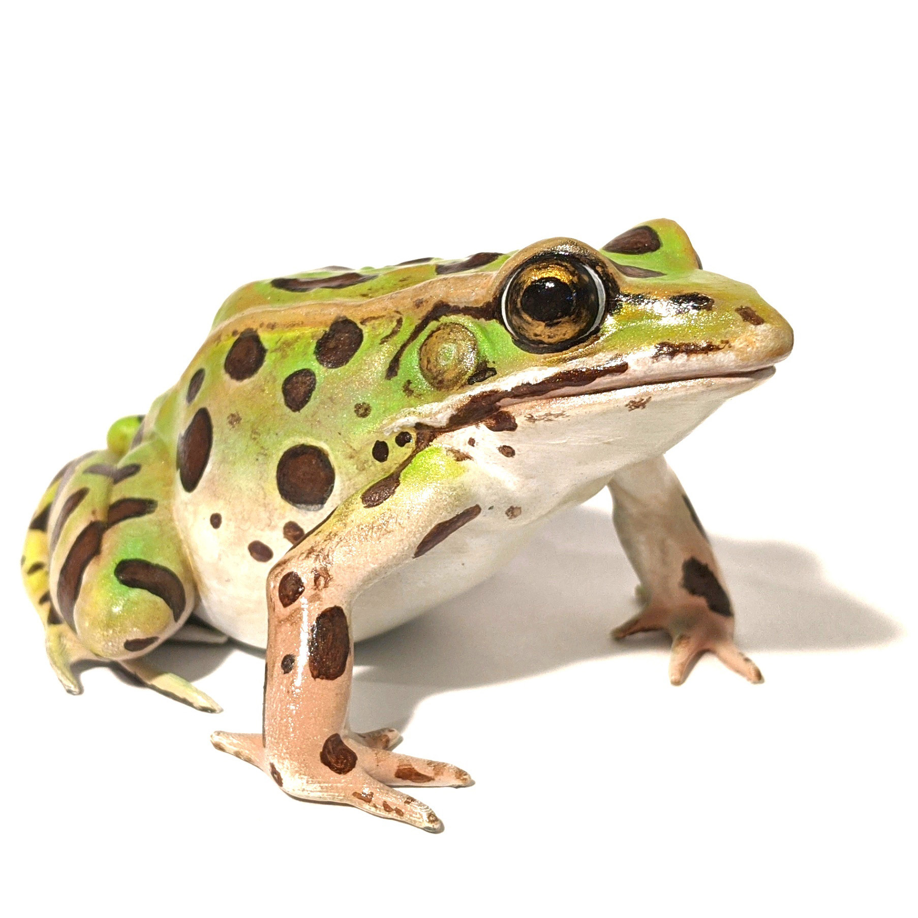 Northern Leopard Frog (Lithobates Pipiens) Model
