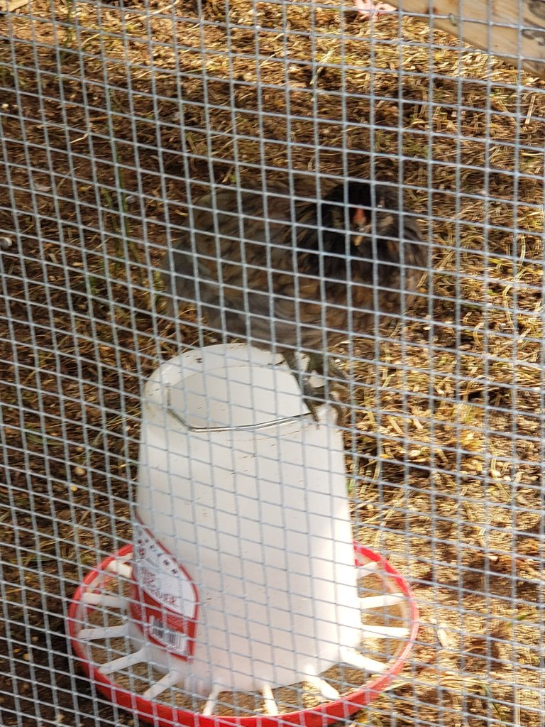 Chicken with feeder inside wire in a coop