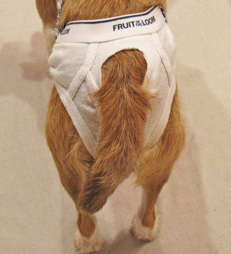 dog in heat diaper pants potty training