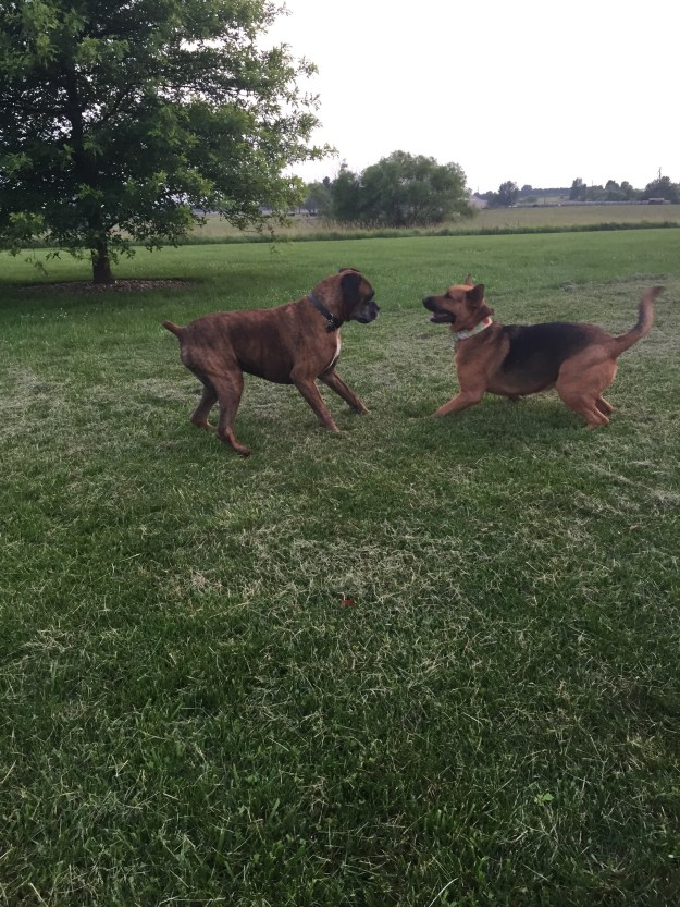 Sammie and Boomer playing