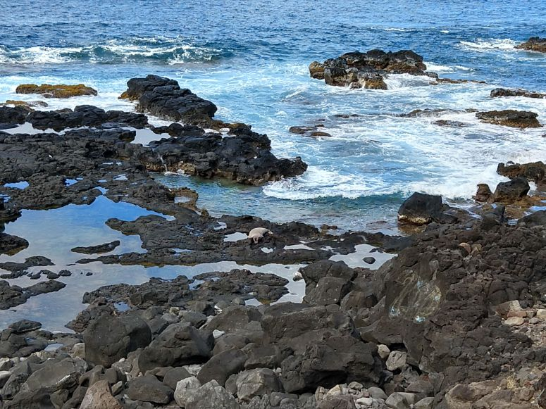 Monk Seal resting on rocks along trail to Kaena Point