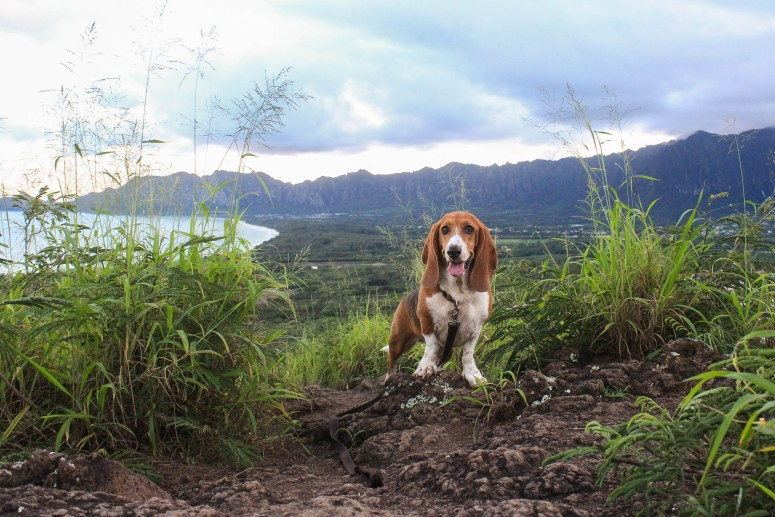 Basset Hound Hiking