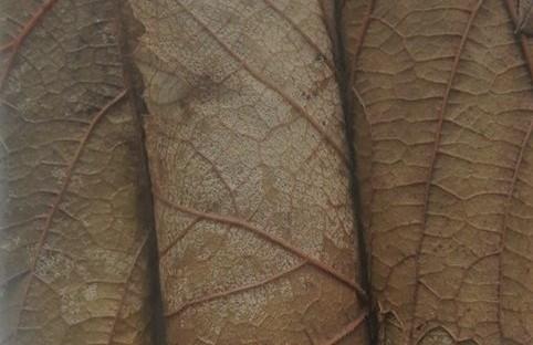 frunze de vita conservate