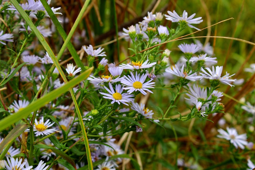 Purple aster flowers spotted while Maine hiking.