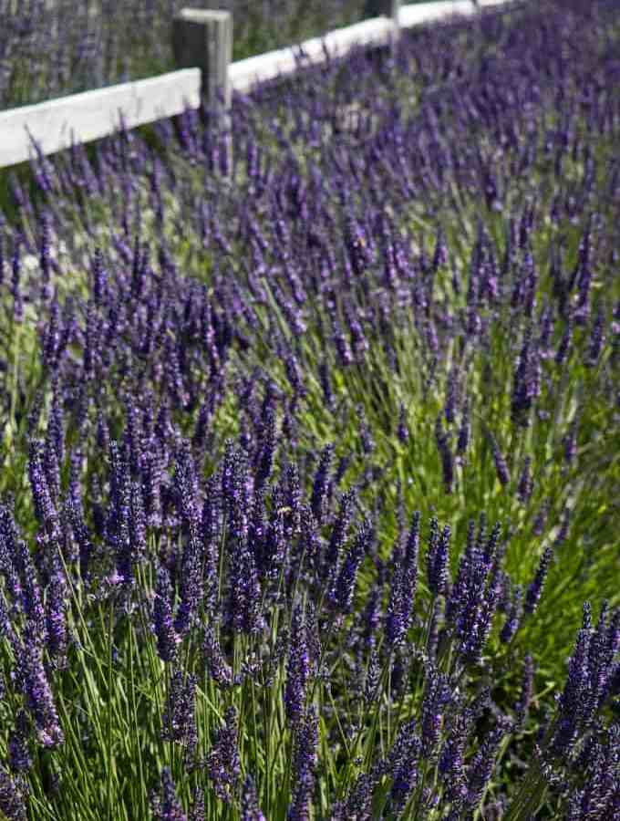 lavender field at the Sequim lavender festival