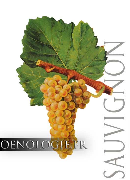 Sauvignon Blanc Grape