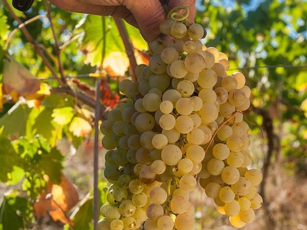 vermentino grapes