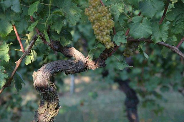 verdicchio grapes marche region italy