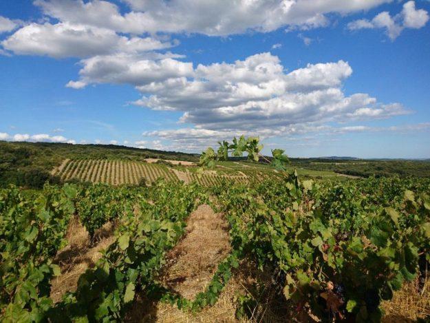Grenache vineyard Fagueres France Languedoc