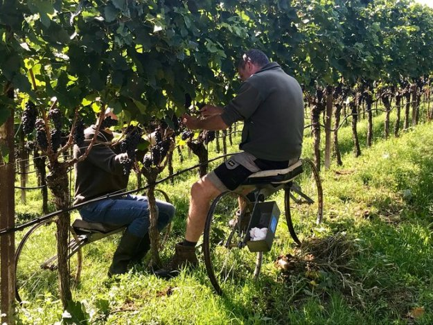 alto adige sud tyrol Colterenzio vineyard harvest