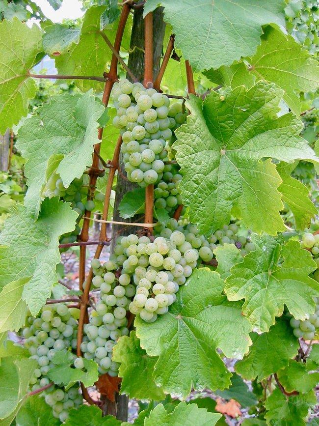 grenache blanc grapes