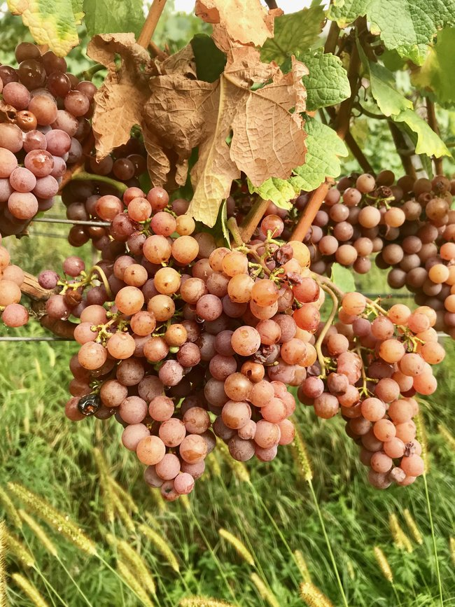grenache gris wine grapes