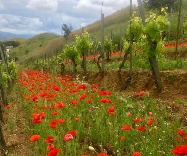 Porta del Venta organic winery cataratto bianco vineyard
