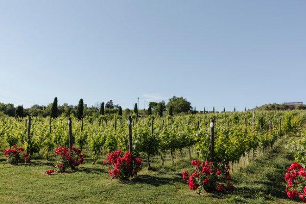 le Marche Azienda Agraria Guerrieri vineyard