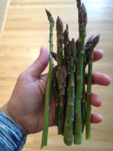 Alberta Asparagus I have 25 asparagus plants in my backyard Edgar's Asparagus has 26 acres - I rely on them for the bulk of my eating Asparagus on Hand - self portrait - Karen Anderson