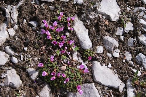 Purple Saxifrage - Windy Ridge near Mt. Assiniboine - July 2013 photo - Karen Anderson