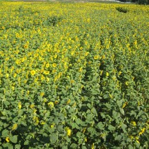 Sunflower Maze at Eagle Creek - photo - Karen Anderson