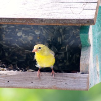American Goldfinch (female) photo - Karen Anderson