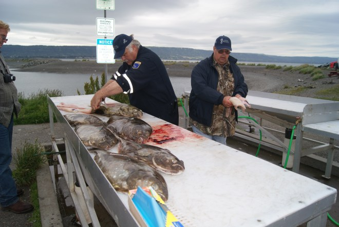 Smokey and friends cleaning halibut in Homer's Spit, AK
