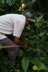 Digging turmeric - photo credit - Karen Anderson