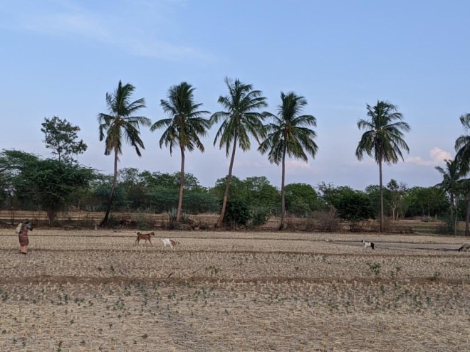 Goats and Dry Stubble landscape view - photo by Narasimha Reddy Yeddula