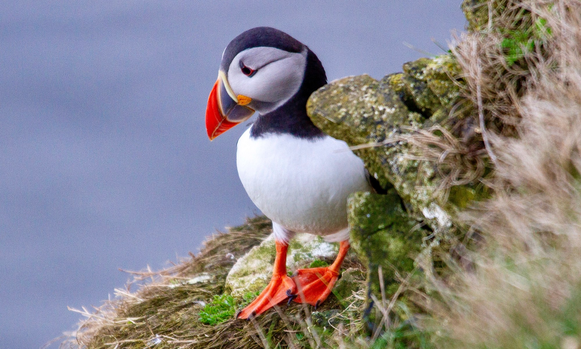 A newly arrived Puffin with bright plumage looking for his burrow in the cliff face