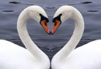 soulmate swans