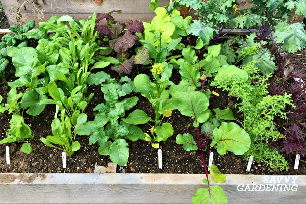 Plant fast growing Asian greens .