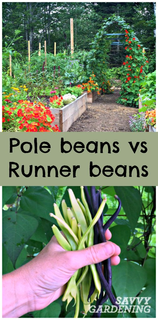 Which type of bean is best for gardeners; pole or runner? (Savvy Gardening)