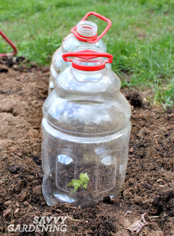 vegetable gardening tip; a cloche can be made from simple household items.
