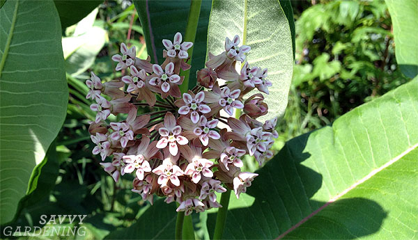 The 3-Minute Rule for Milkweed And Seeds