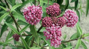 Plant milkweed to help save the monarch butterflies