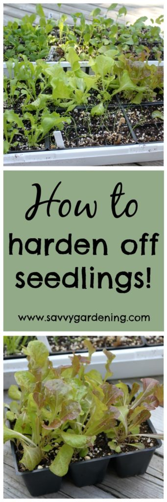 4 Simple steps to hardening off your seedlings!