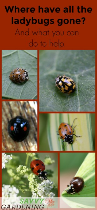 Many of North America's 400+ species of ladybugs are in trouble. Learn what you can do to help.