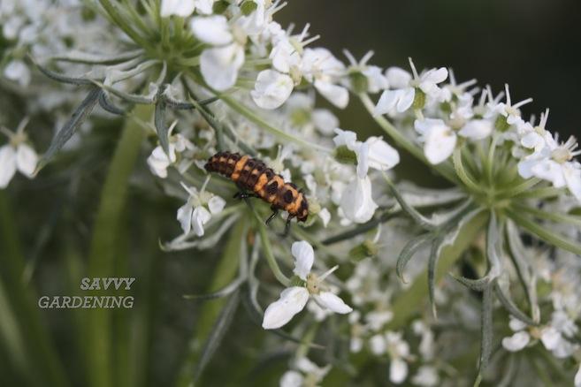 ladybug larva2. jpg