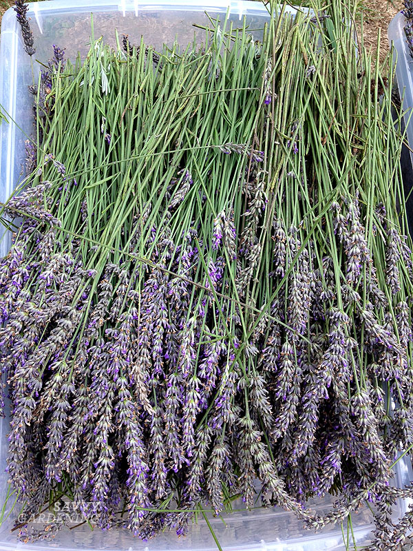 Harvested lavender, waiting to go into the big, split-column copper still.