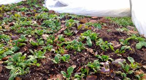 Growing winter vegetables; it's easier than you think!