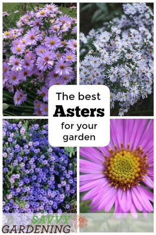 The best perennial asters to provide late-season color to the garden.
