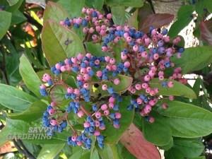 Possum haw Viburnum nudum berries